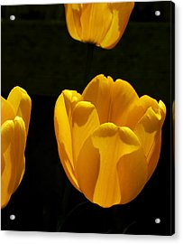Buttercup Tulips Acrylic Print by Steven Milner