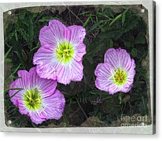 Buttercup Wildflowers - Pink Evening Primrose Acrylic Print by Ella Kaye Dickey