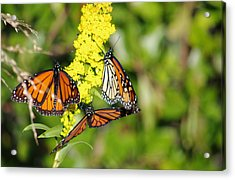 Acrylic Print featuring the photograph Butterflies Abound by Greg Graham