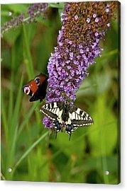 Butterflies Feeding On Buddleia Flowers Acrylic Print by Bob Gibbons