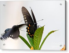Butterflies Playing Acrylic Print by Jay Nodianos