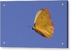 Butterflu Acrylic Print