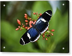 Butterfly 0002 Acrylic Print