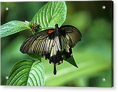 Acrylic Print featuring the photograph Butterfly 2 by Kathy Churchman