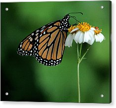 Acrylic Print featuring the photograph Butterfly 3 by Leticia Latocki