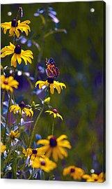 Butterfly On Black Eyed Susans Acrylic Print