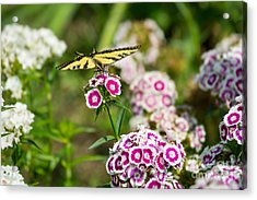 Butterfly And Bloom - Beautiful Spring Flowers And Tiger Swallowtail Butterfly. Acrylic Print by Jamie Pham