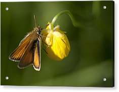 Butterfly And Buttercup  Acrylic Print