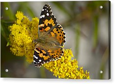 Butterfly And Goldenrod Acrylic Print