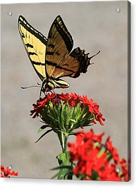Butterfly And Maltese Cross 1 Acrylic Print by Aaron Aldrich