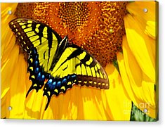 Butterfly And The Sunflower Acrylic Print