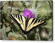 Butterfly Acrylic Print by Ashley Balkan
