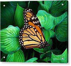 Butterfly Be Still Acrylic Print