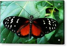 Butterfly Beauty Acrylic Print by Beril Sirmacek