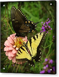 Swallowtaill Bliss Acrylic Print by James C Thomas