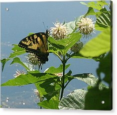 Butterfly By The Water Acrylic Print by Stephen Melcher