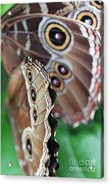 Butterfly Close Up  Acrylic Print by AR Annahita