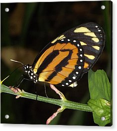 Acrylic Print featuring the photograph Butterfly Collecting Nectar by Bill Woodstock