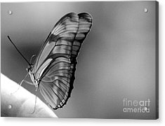 Butterfly Dance Acrylic Print
