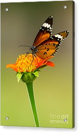Butterfly Feeding Acrylic Print by Tosporn Preede
