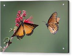 Butterfly Flight Acrylic Print by Jeff Wendorff