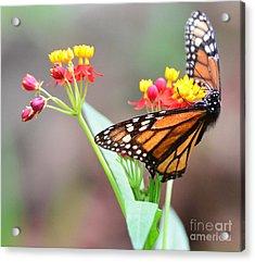 Butterfly Flower - Gossamer Wings Embrace Candy Blossoms Acrylic Print by Wayne Nielsen
