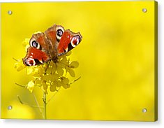 Butterfly In A Field Of Yellow Rapeseed Flowers Acrylic Print by Roeselien Raimond