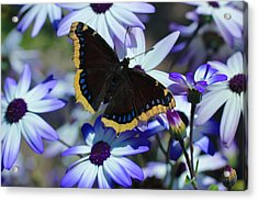 Butterfly In Blue Acrylic Print by Heidi Smith