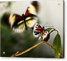 Acrylic Print featuring the photograph Butterfly In Flight by Bradley R Youngberg