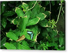Butterfly In Rain Forest Acrylic Print