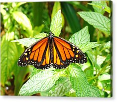 Butterfly In The Plants Acrylic Print by Van Ness