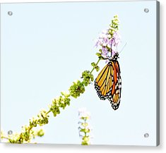 Butterfly Kisses Acrylic Print