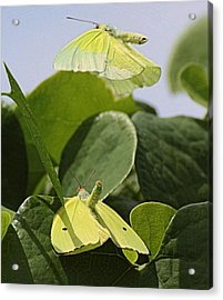 Butterfly Love Acrylic Print by Dart and Suze Humeston