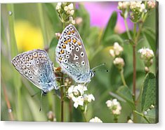 Butterfly Lovers Acrylic Print