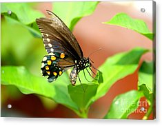 Acrylic Print featuring the photograph Butterfly Nesting by Jay Nodianos
