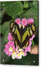 Butterfly Of Love Acrylic Print