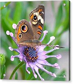 Butterfly On African Daisy Acrylic Print