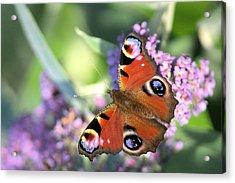 Butterfly On Buddleia Acrylic Print by Gordon Auld