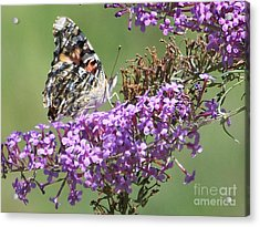 Acrylic Print featuring the photograph Painted Lady Butterfly by Eunice Miller