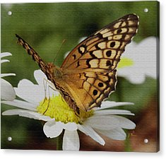 Acrylic Print featuring the photograph Butterfly On Daisy by James C Thomas