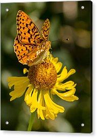 Butterfly On Daisy Acrylic Print