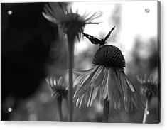 Butterfly On Echinacea Acrylic Print by Maeve O Connell