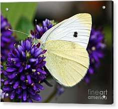Butterfly On Hebe Acrylic Print