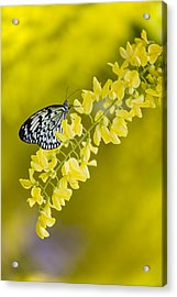 Butterfly On Laburnum Acrylic Print