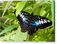 Butterfly On Leaf   Acrylic Print by Lars Lentz
