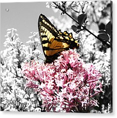 Butterfly On Lilac Acrylic Print by Mellisa Ward
