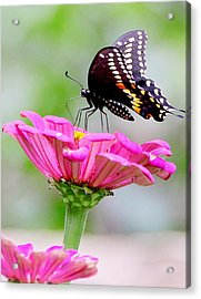 Butterfly On Pink Flower Acrylic Print