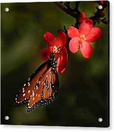 Butterfly On Red Blossom Acrylic Print