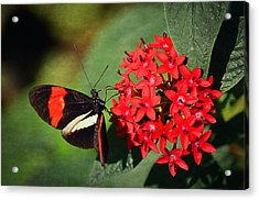 Butterfly On  Red Flowers Acrylic Print