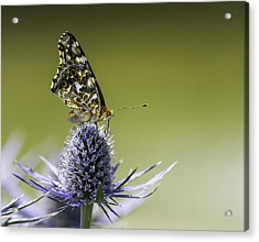 Acrylic Print featuring the photograph Butterfly On Thistle by Peter v Quenter